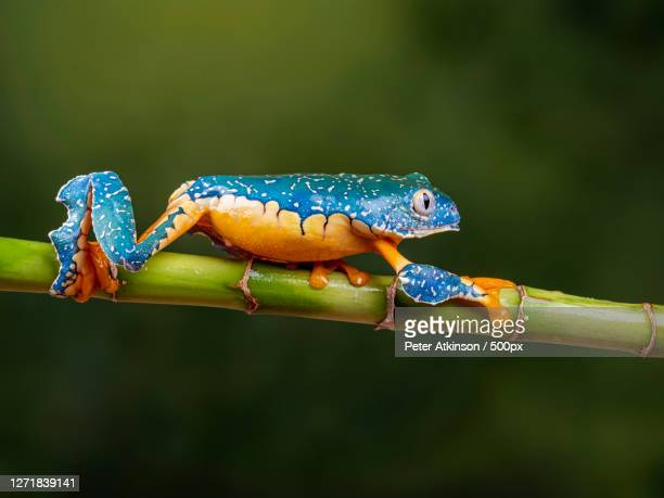 close-up of frogs on twig, ringwood, united kingdom - frog stock pictures, royalty-free photos & images