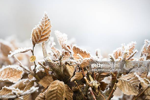 Close-Up Of Frost On Dry Plants