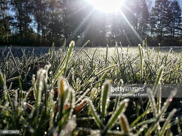 Close-Up Of Frost On Grass On Sunny Day