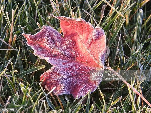 close-up of frosty autumn leaf on grassy field - solomon turkel stock pictures, royalty-free photos & images