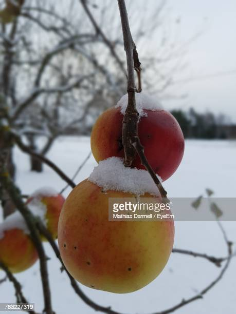 Close-Up Of Frozen Apple On Tree