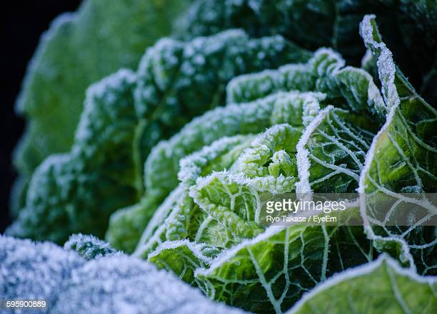 Close-Up Of Frozen Cabbage Growing Outdoors