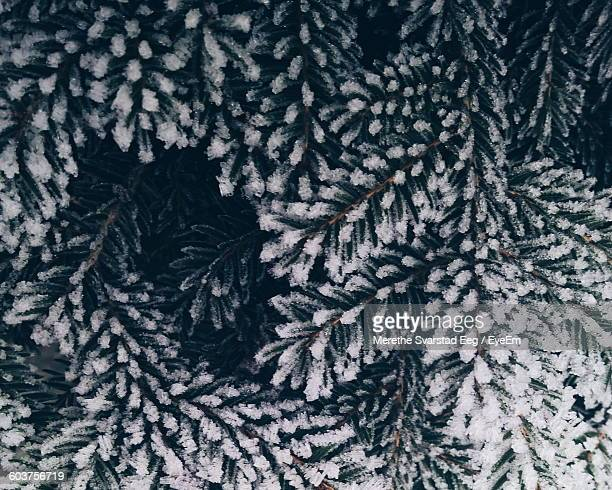 Close-Up Of Frozen Christmas Tree During Winter