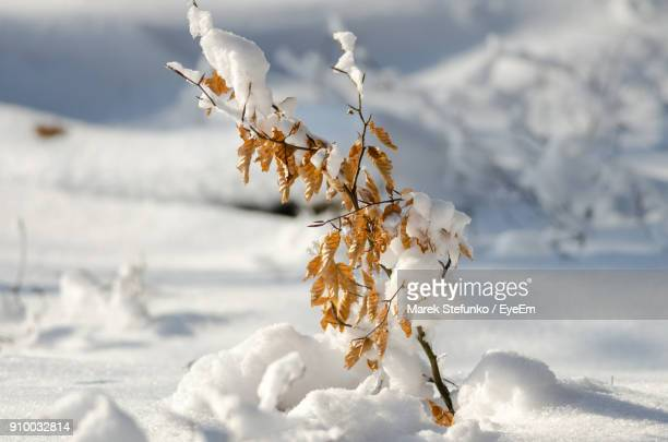close-up of frozen flower on field during winter - marek stefunko stock pictures, royalty-free photos & images