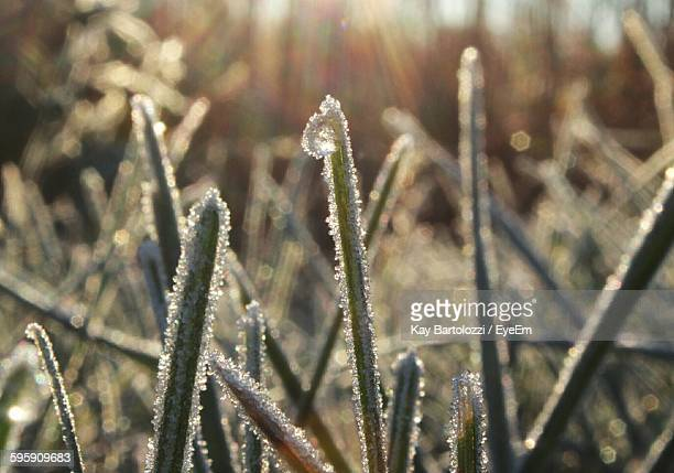 Close-Up Of Frozen Grass On Field
