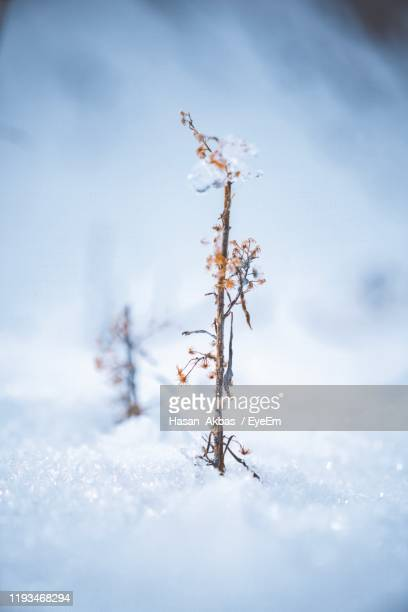 close-up of frozen plant on field against sky - gediz stock pictures, royalty-free photos & images