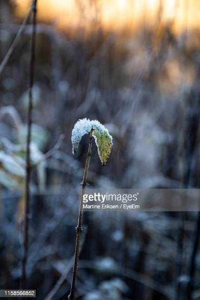 close-up of frozen plant on land - eriksen stock pictures, royalty-free photos & images