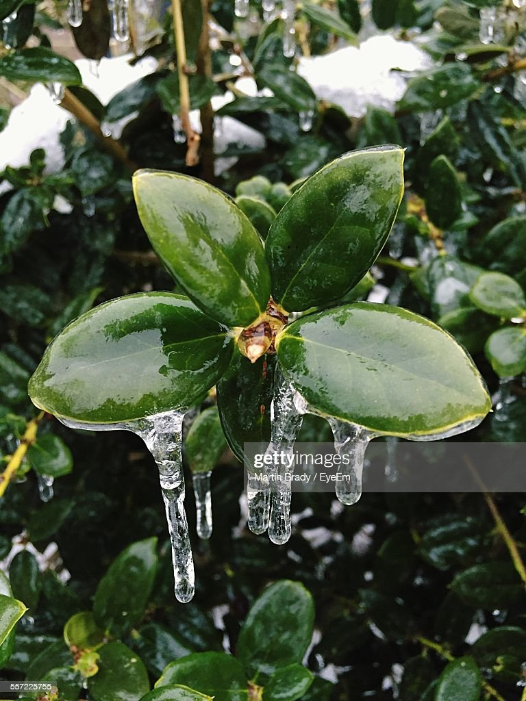 Close-Up Of Frozen Plant : Stock Photo