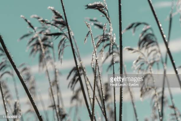 close-up of frozen plants during winter - gras stock pictures, royalty-free photos & images