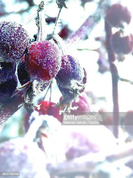 Close-Up Of Frozen Rose Hips On Plant