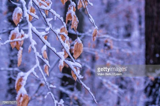 Close-Up Of Frozen Tree During Winter