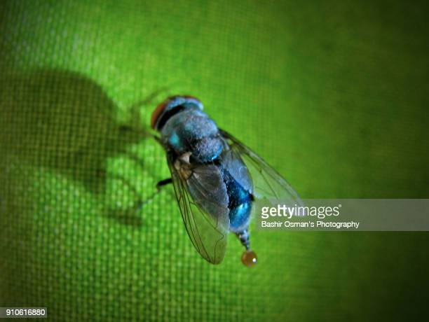 A close-up of fruit fly