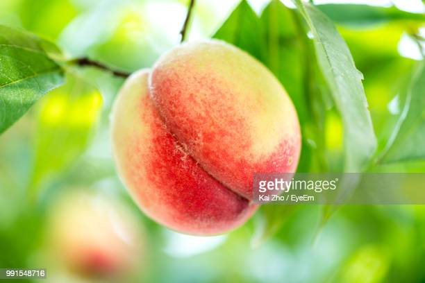 close-up of fruit growing on tree - peach stock photos and pictures