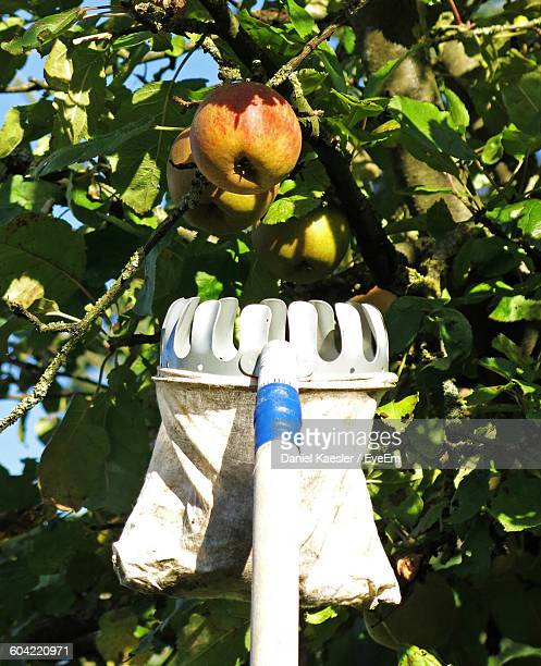 Close-Up Of Fruit Picker And Apple Tree