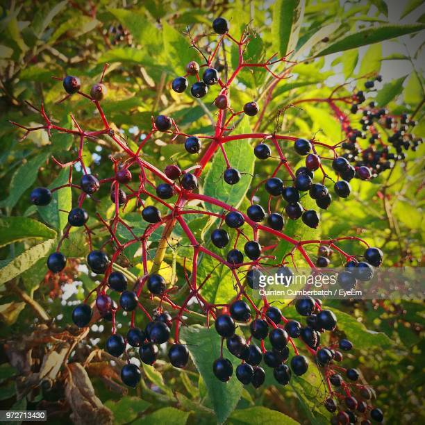close-up of fruits growing on branch - cumberbatch stock pictures, royalty-free photos & images