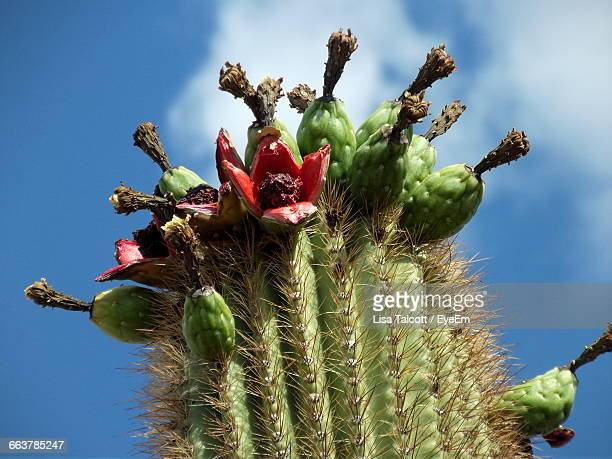 close-up of fruits growing on saguaro cactus - saguaro cactus stock pictures, royalty-free photos & images