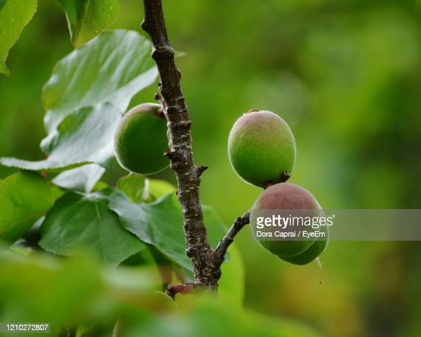 close-up of fruits growing on tree - apricot tree stock pictures, royalty-free photos & images