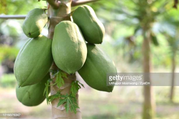 close-up of fruits growing on tree - unripe stock pictures, royalty-free photos & images