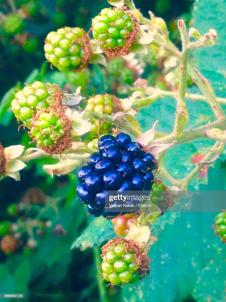 Close-Up Of Fruits Growing On Tree : Stock Photo