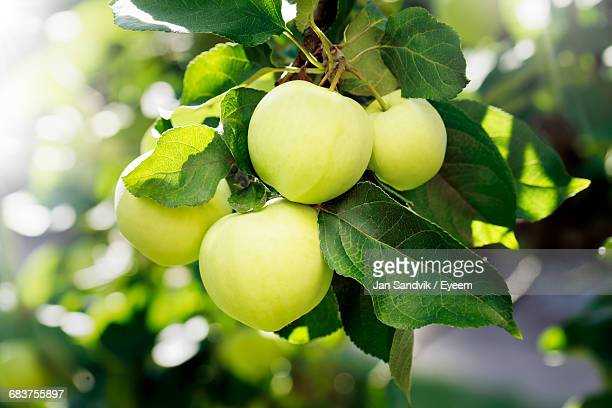 close-up of fruits growing on tree - appelboom stockfoto's en -beelden