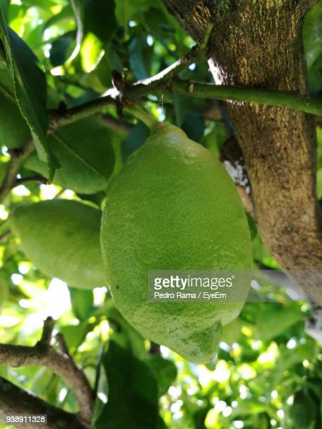 close-up of fruits growing on tree - unripe stock photos and pictures
