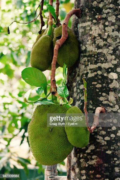 close-up of fruits growing on tree - kandy kandy district sri lanka stock photos and pictures