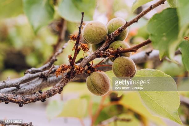 close-up of fruits growing on tree,turkey - ipek morel stock pictures, royalty-free photos & images