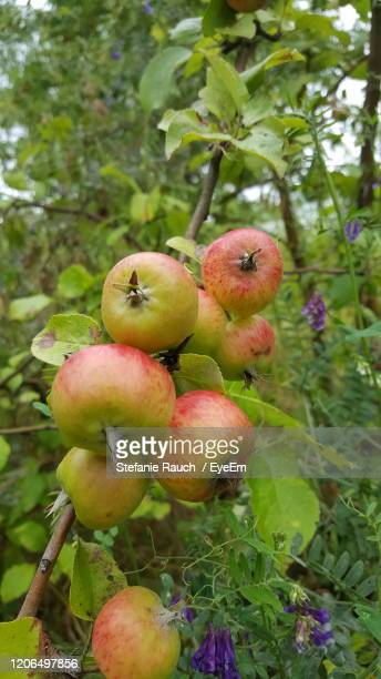 close-up of fruits on tree - unripe stock pictures, royalty-free photos & images