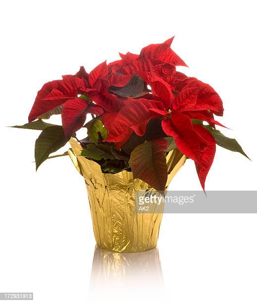 close-up of full blossom poinsettia pot in golden wrap - christmas star stock photos and pictures