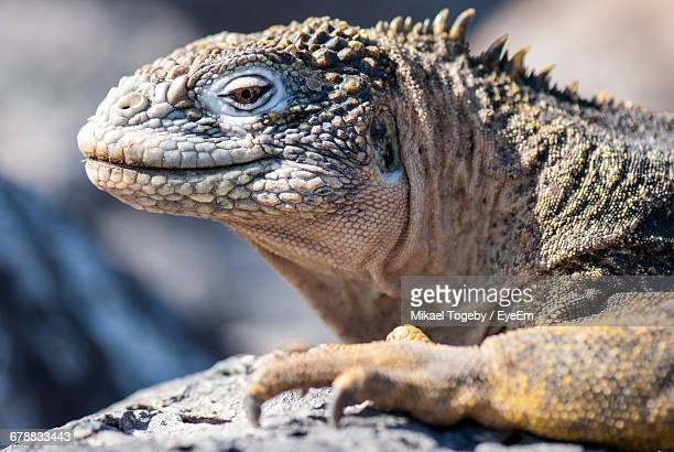 Close-Up Of Galapagos Land Iguana