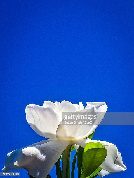 Close-Up Of Gardenia Blooming Against Blue Sky