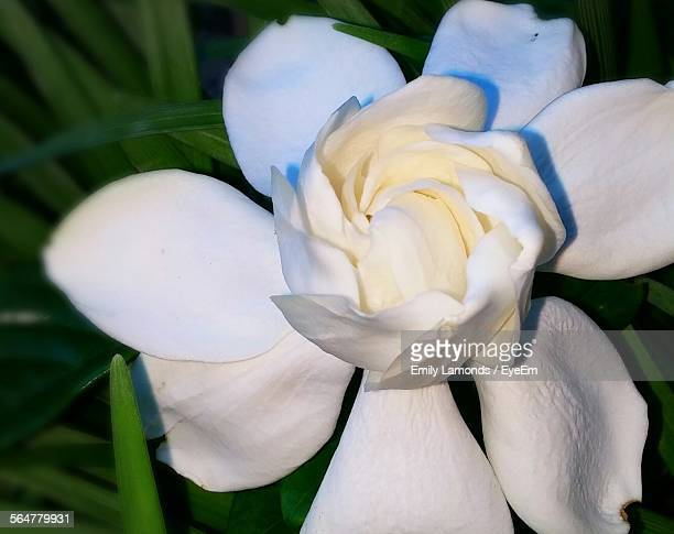 Close-Up Of Gardenia Blooming Outdoors