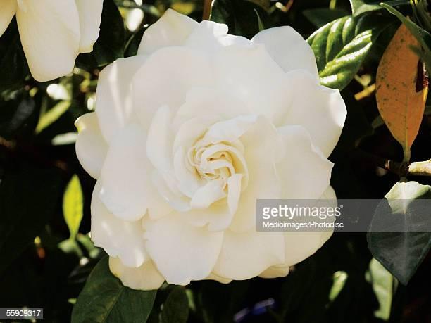 Close-up of gardenia