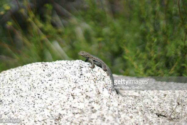 Close-Up Of Gecko On Rock