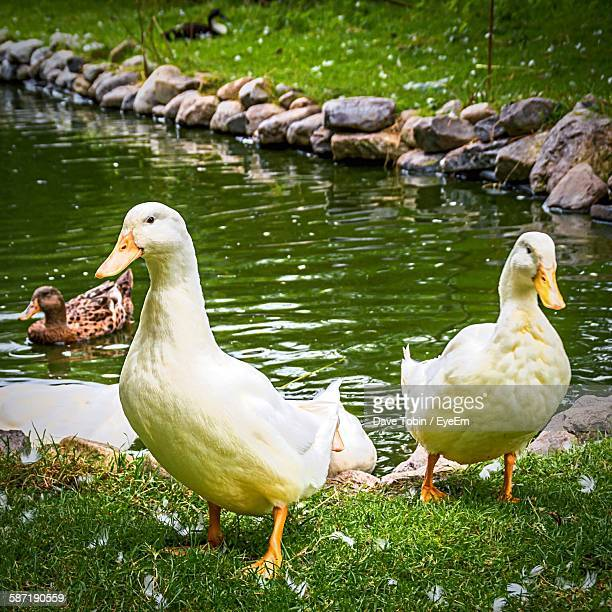 close-up of geese and duck by lake - kildare stock photos and pictures