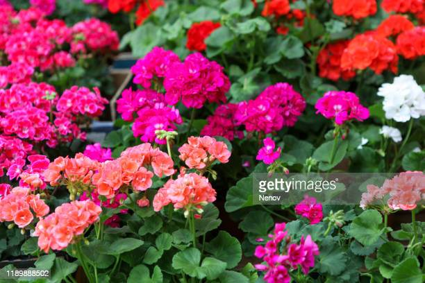 close-up of geranium pelargonium flowers - midsommarblomster bildbanksfoton och bilder