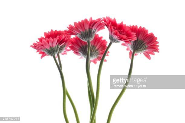 Close-Up Of Gerbera Daisy Against White Background