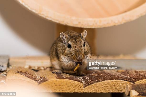 close-up of gerbil eating worm - gerbil stock pictures, royalty-free photos & images