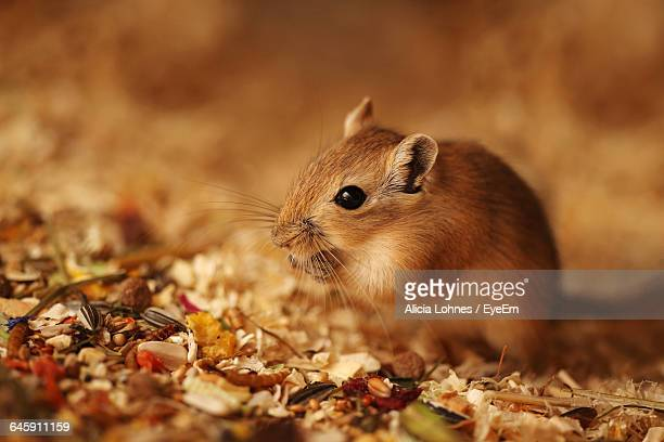 close-up of gerbil on field - gerbil - fotografias e filmes do acervo