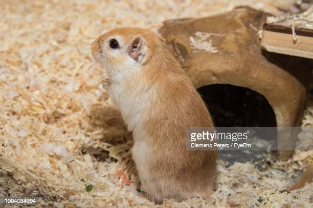 close-up of gerbil on wood - gerbil - fotografias e filmes do acervo