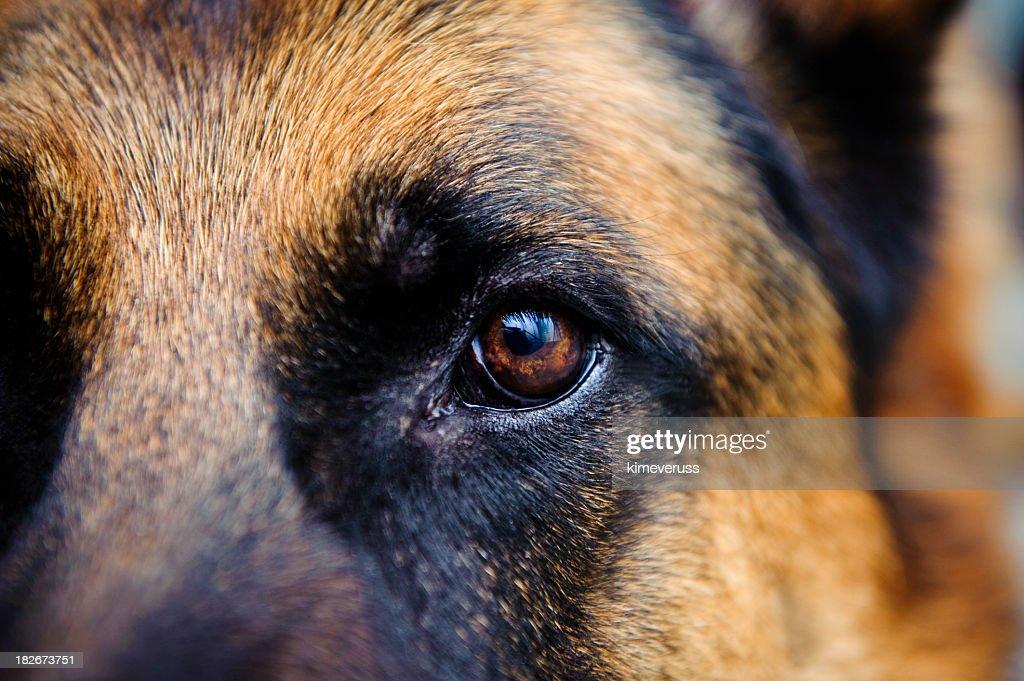 Close-up of German Shepard brown eye looking straight at us : Stock Photo