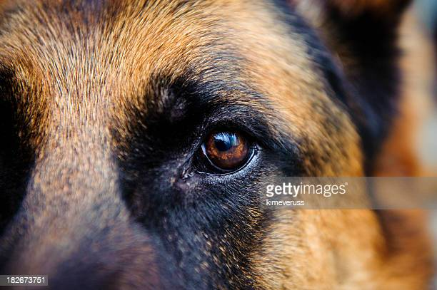 Close-up of German Shepard brown eye looking straight at us