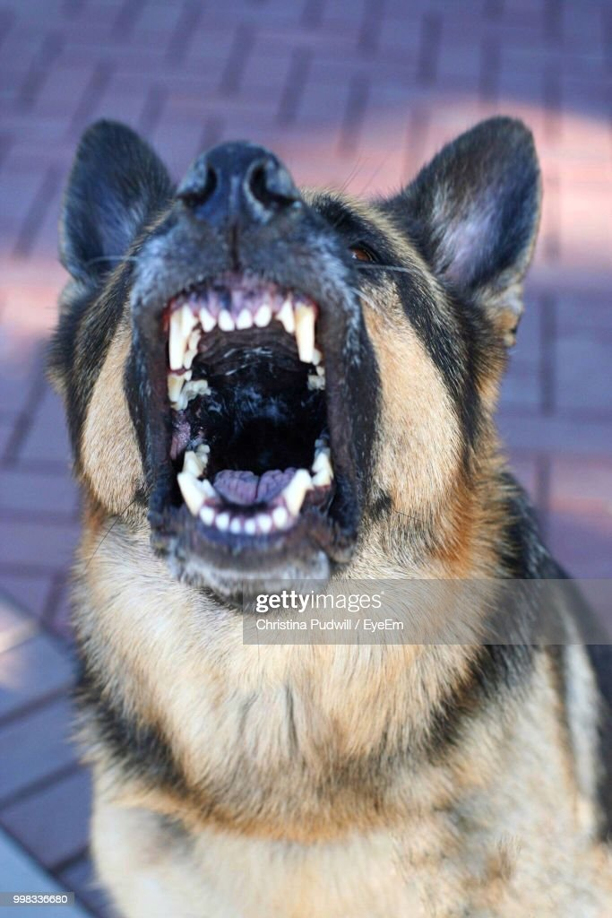 Close-Up Of German Shepherd Barking On Footpath : Stock Photo