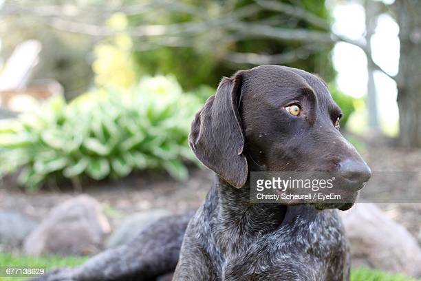 close-up of german short-haired pointer sitting on field - german shorthaired pointer stock pictures, royalty-free photos & images
