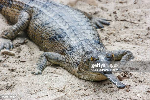 Close-Up Of Gharial On Sand