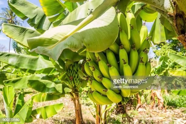 closeup of giant cavendish banana bunch on the plantation, taveta, kenia - plantation stock pictures, royalty-free photos & images