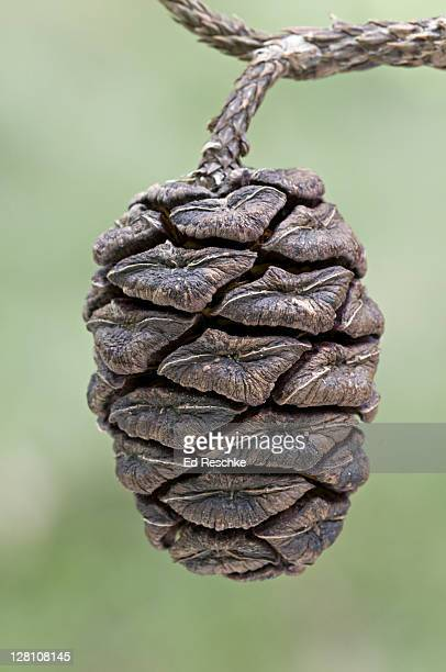 closeup of giant sequoia cone, sequoia gigantea. giant forest, sequoia national park, california, usa. limited to groves on the west side of the sierra nevada mountains. - sequoia national forest stock photos and pictures