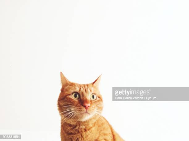 Close-Up Of Ginger Cat Against White Background