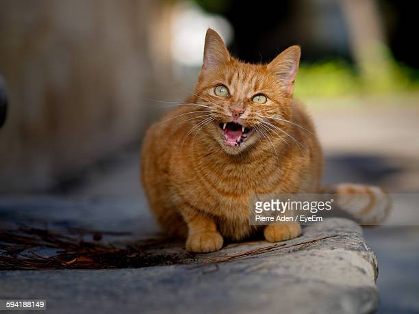 Close-Up Of Ginger Cat Meowing
