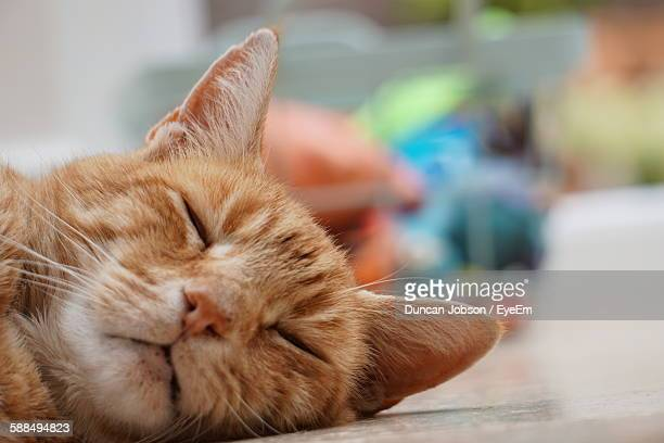 close-up of ginger cat sleeping on floor - chat roux photos et images de collection